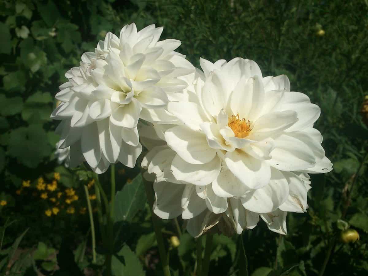 λευκό τριαντάφυλλο, πέταλο, αγριολούλουδα, φυτοκομία, καλοκαίρι, φύλλο, φύση, χλωρίδα