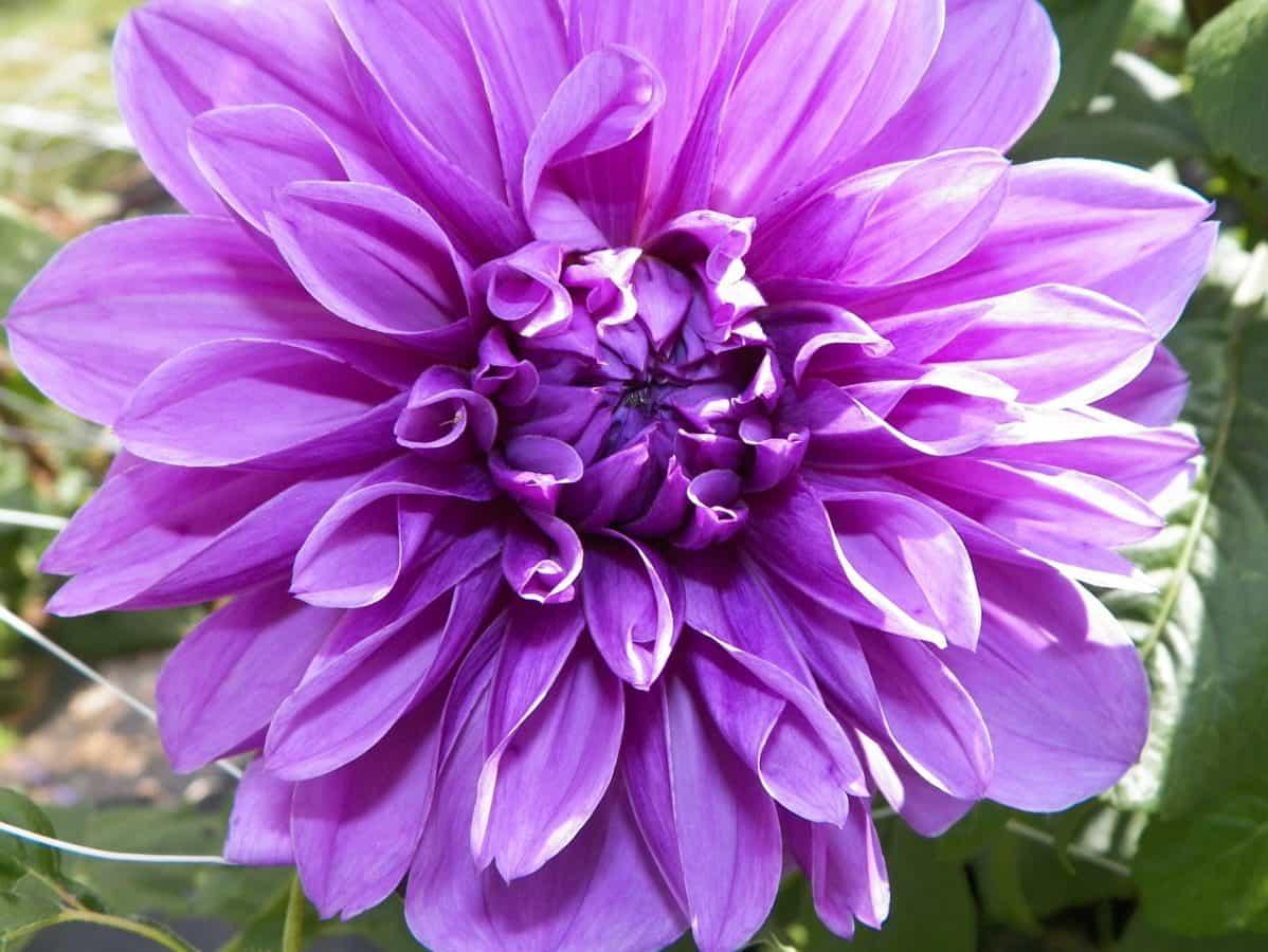giardino, petalo, natura, estate, fiore, foglia, flora, rosa