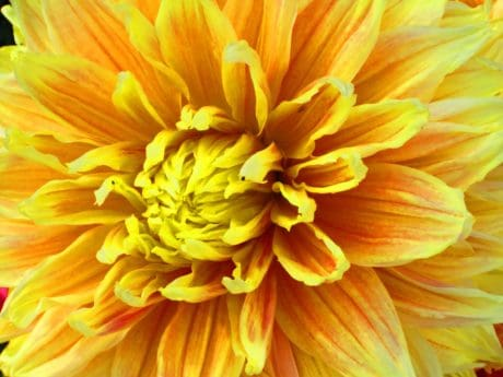 nature, dahlia, flora, yellow, summer, petal, flower, plant, bloom