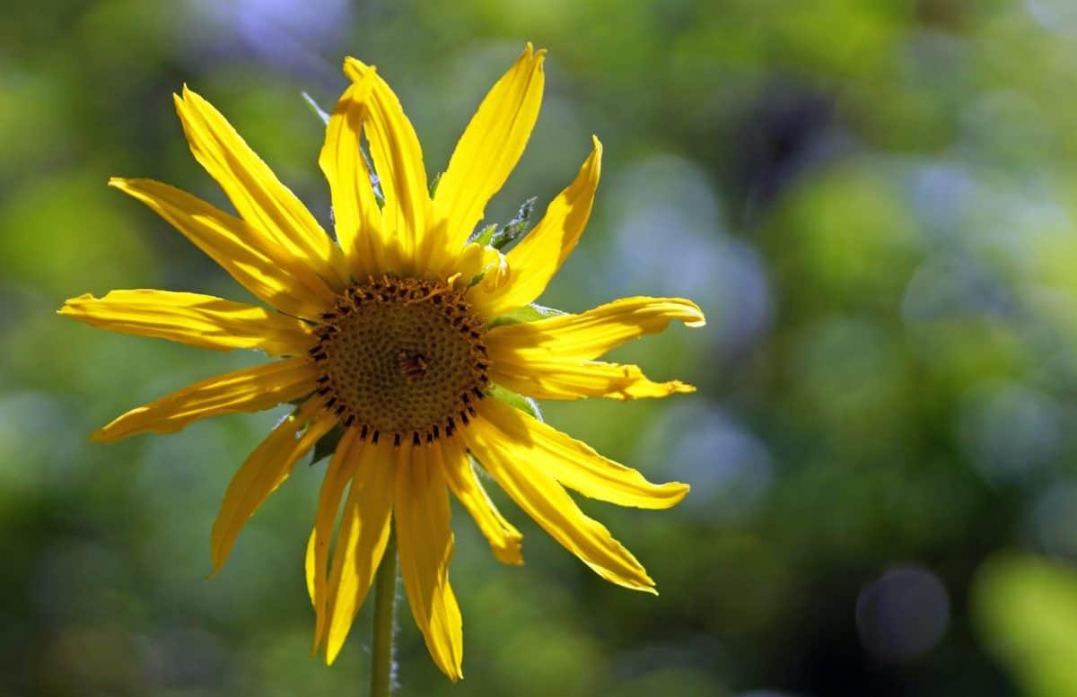лято, листа, флора, цвете, природа, слънчоглед, билки, растителни