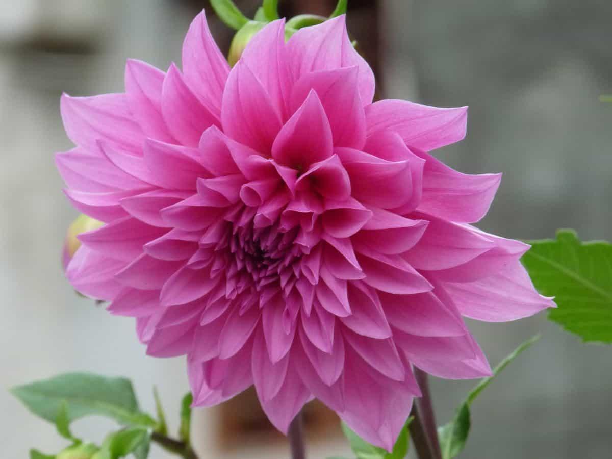 leaf, petal, flower, garden, nature, colorful, summer, flora, pink