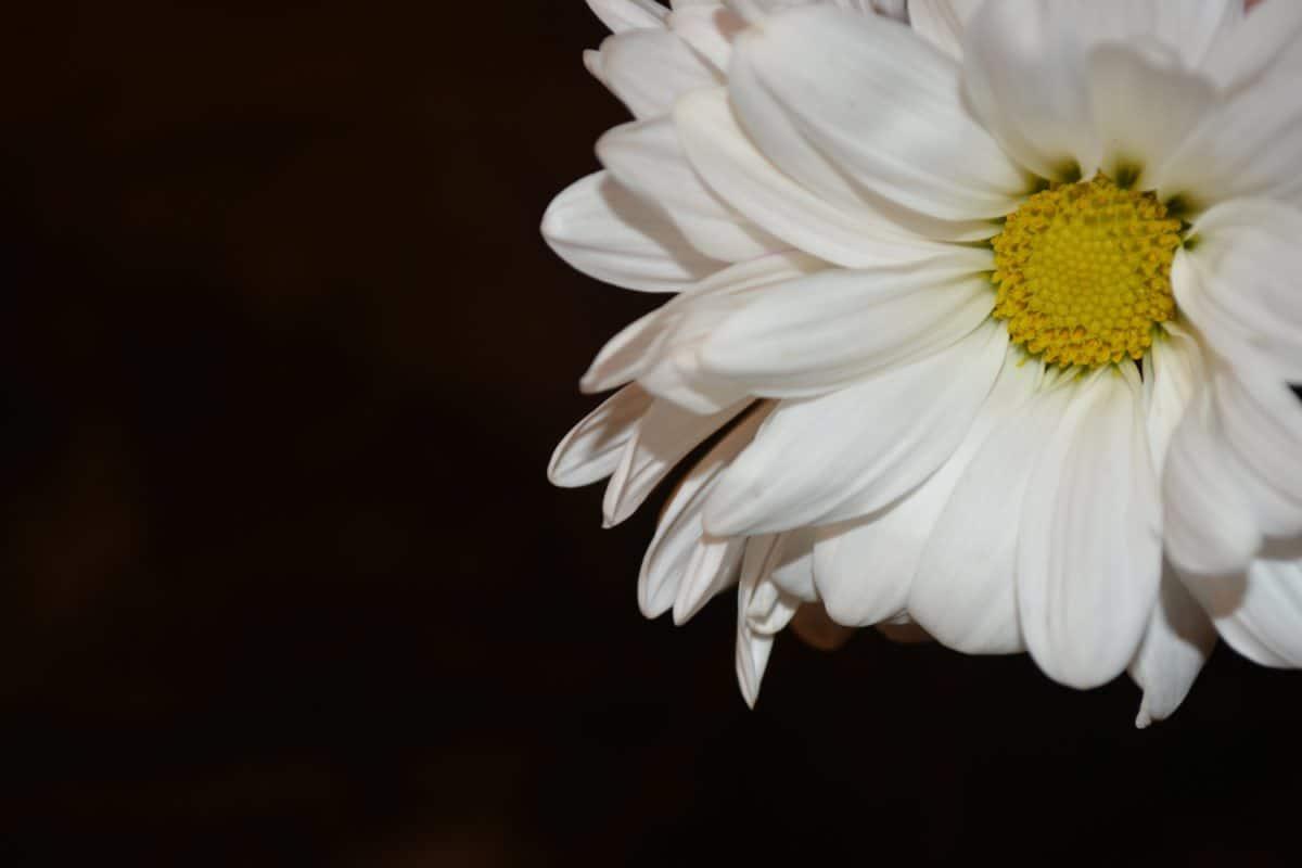 makro, biały kwiat, flora, natura, stokrotka, Płatek, roślin, kwiat, ogród