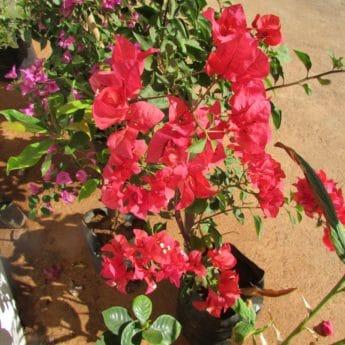 flower, flora, nature, leaf, rose, garden, summer, plant