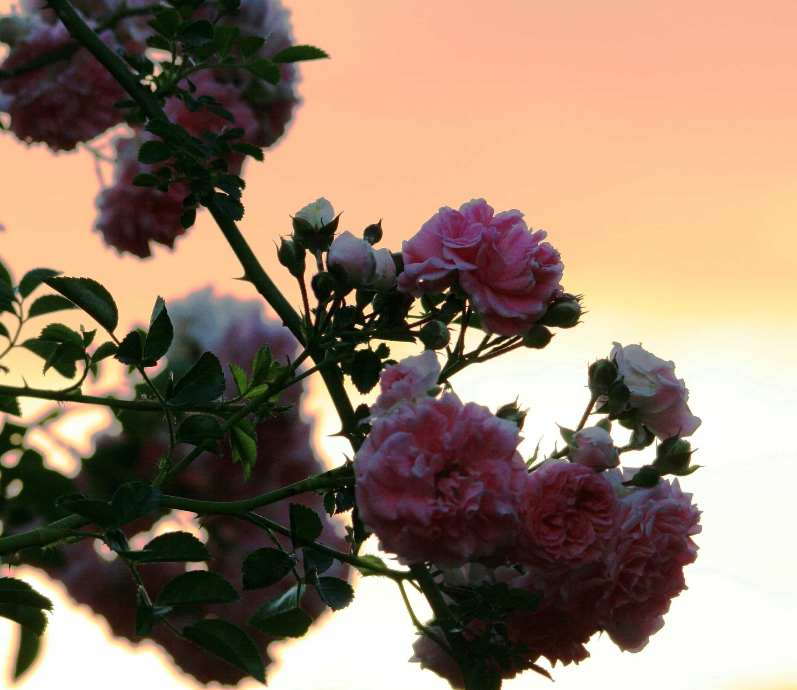 Free Picture: Petal, Flower, Rose, Branch, Garden, Nature