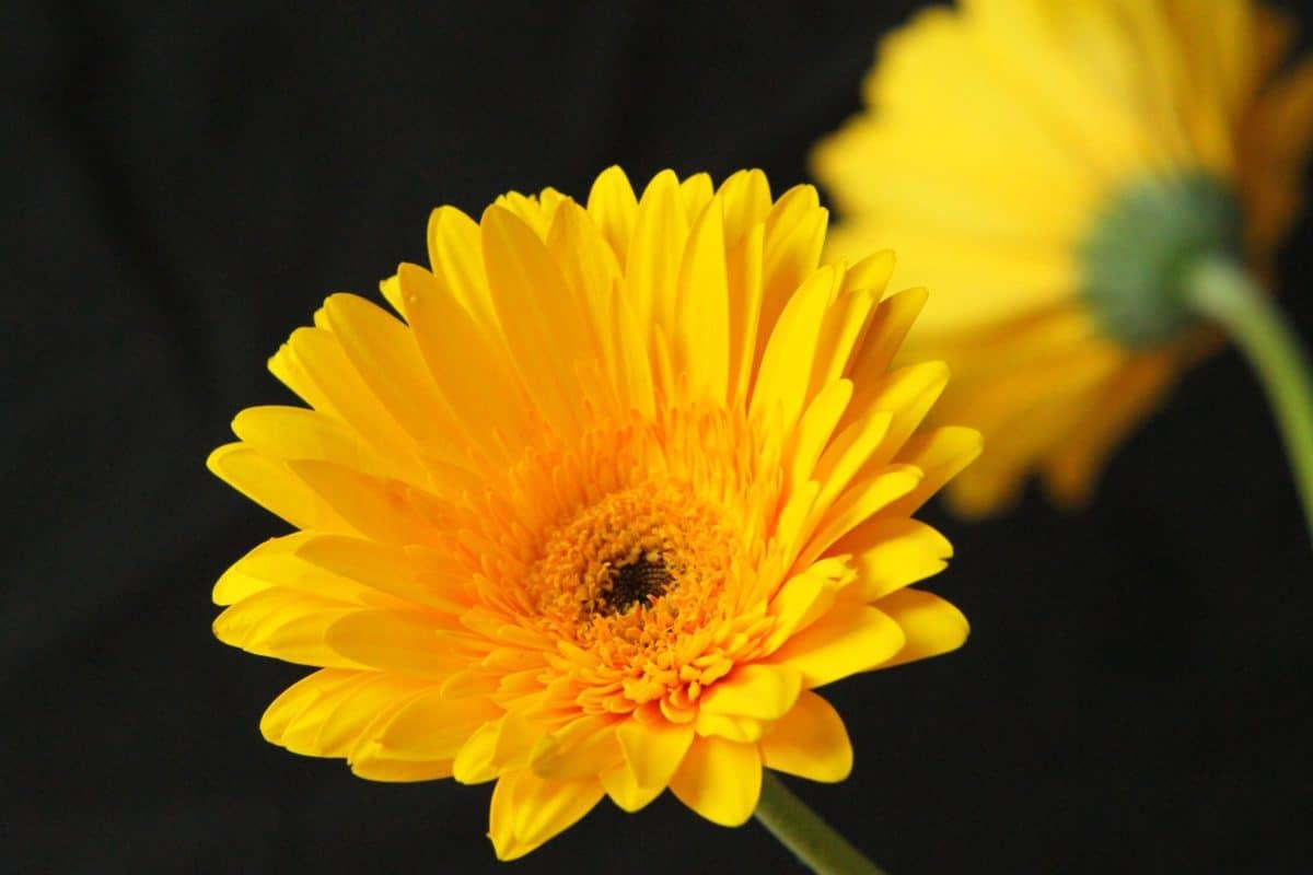flore, nature, fleurs, été, pétale, daisy, macro, plante