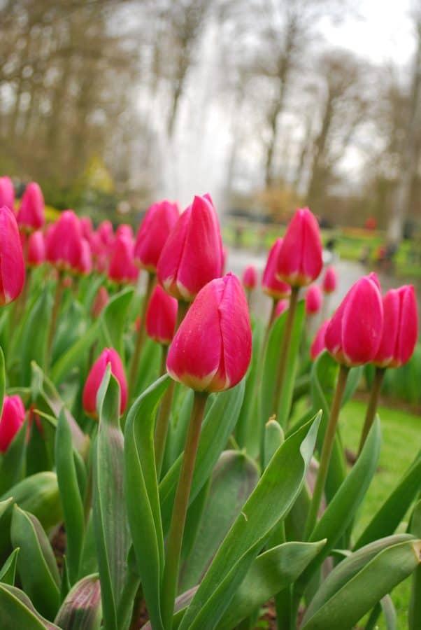 summer, garden, leaf, tulip, nature, flower, flora, tree