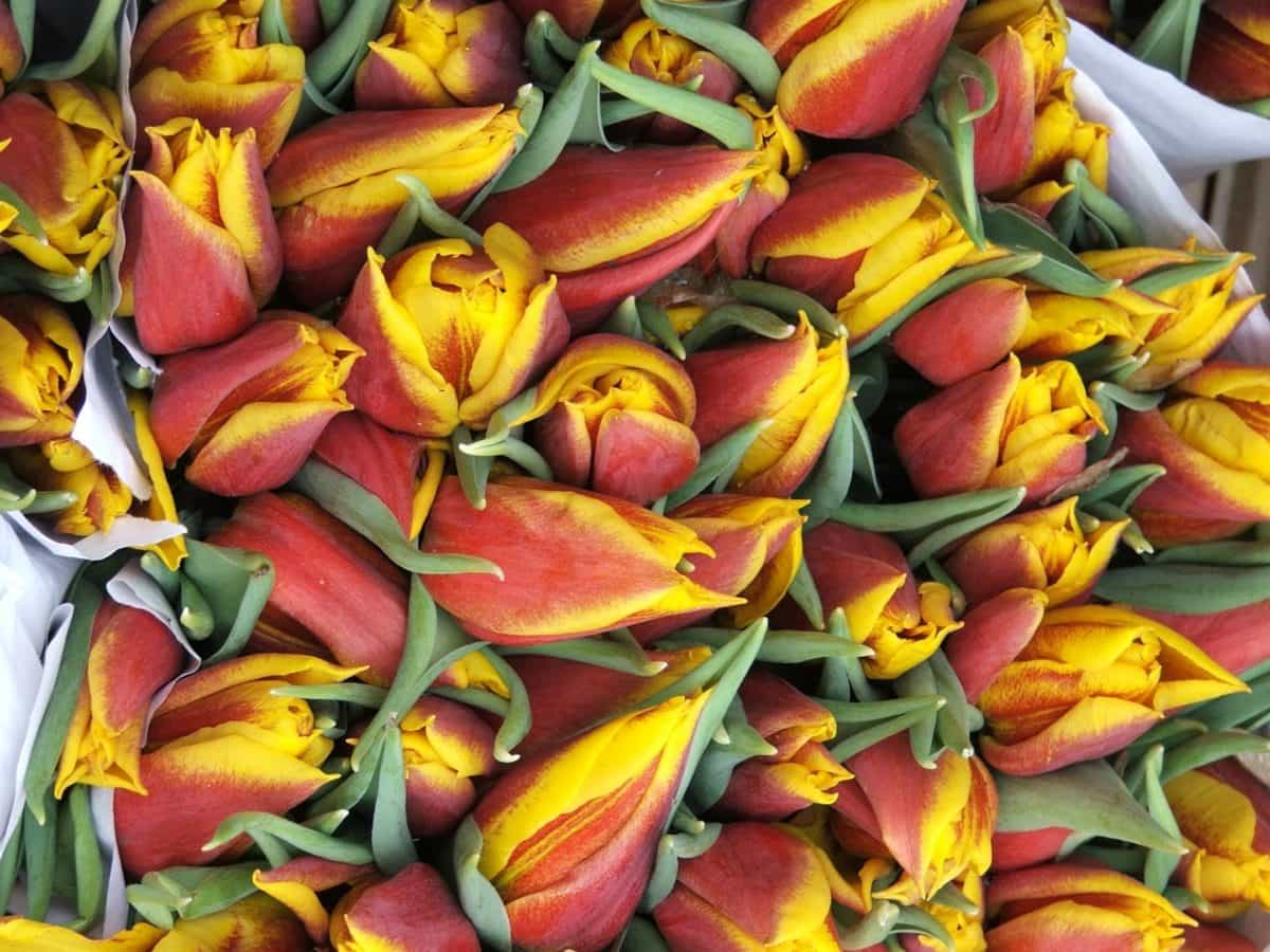 Imagine Gratuită Frunze Natura Flora Flori Lalea