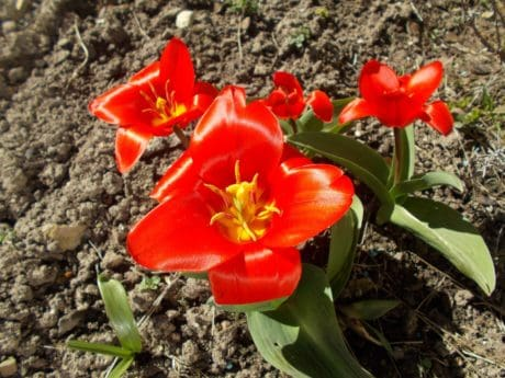nature, flower, leaf, flora, plant, red flower, tulip, outdoor