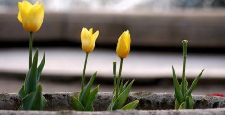 flora, tulip, leaf, nature, garden, flower, herb, plant, blossom