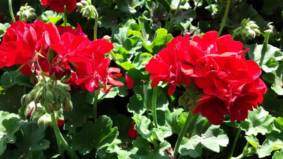 blad, bloem, zomer, flora, natuur, Tuin, bloemblaadje, kruid