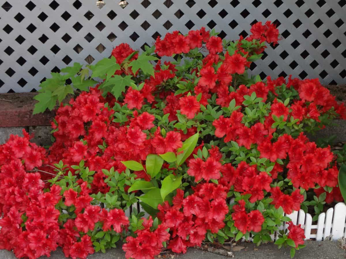 zomer, blad, natuur, Tuin, rode bloem, flora, planten, tuinbouw