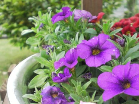 summer, nature, flower, garden, leaf, flora, petunia, plant