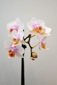 fiore, natura, flora, rosa, fiori, petali, polline, fiore