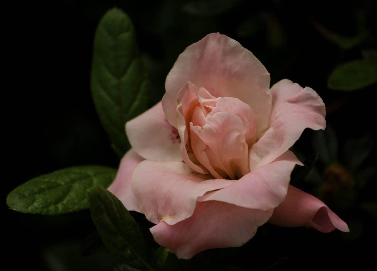 PETAL, natur, vilde rose, flora, blad, wildflower, plante