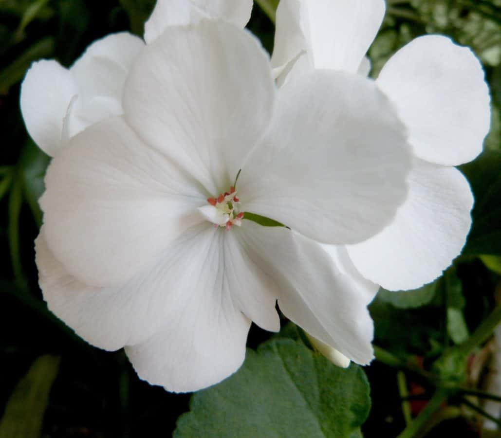 lijepa, list, prirodi, ljeto, latica, vrt, flore, bijeli cvijet