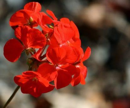 flor, jardín, flora, verano, Pétalo, naturaleza, hierba, geranio