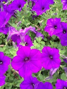 l'été, jardin, fleur, flore, nature, pétunia, plante