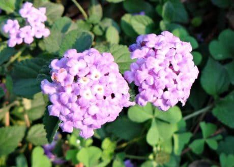 листа, флора, цветя, природа, лято, Градина, хортензия, растителна