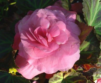 цвете, природа, листа, листенца, флора, camellia, завод, градинарство