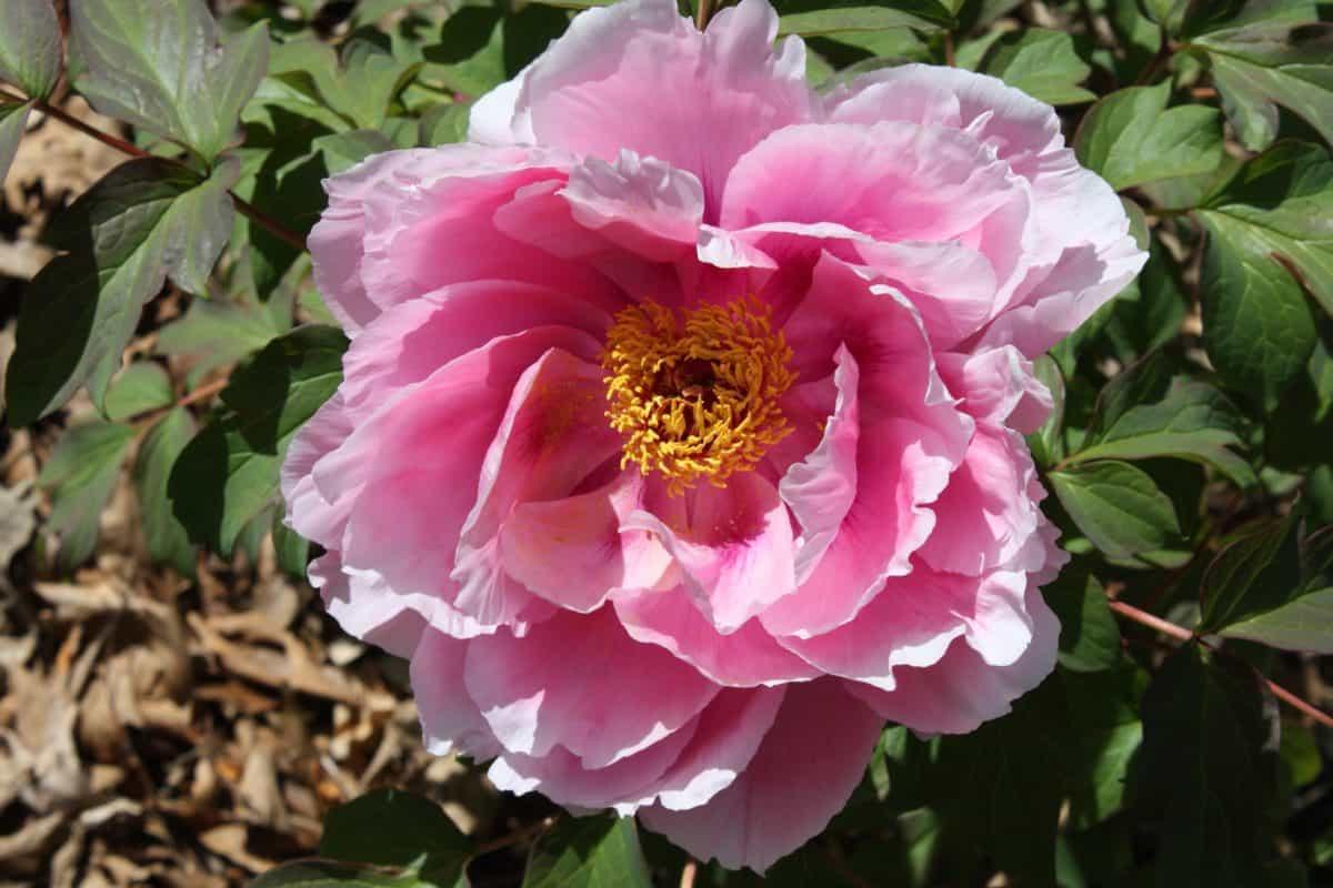 floru, priroda, cvijet, ljeto, list, vrt, divlja ruža, Hortikultura