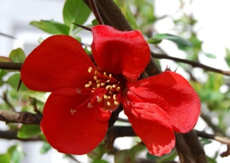 branch, nature, flora, red flower, branch, leaf, garden, plant