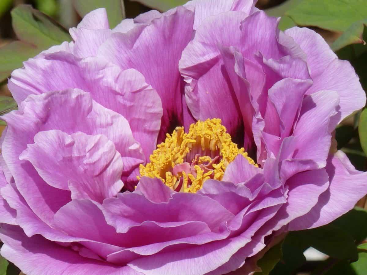 pétale, flore, fleur, nature, plante, rose, rhododendron, jardin