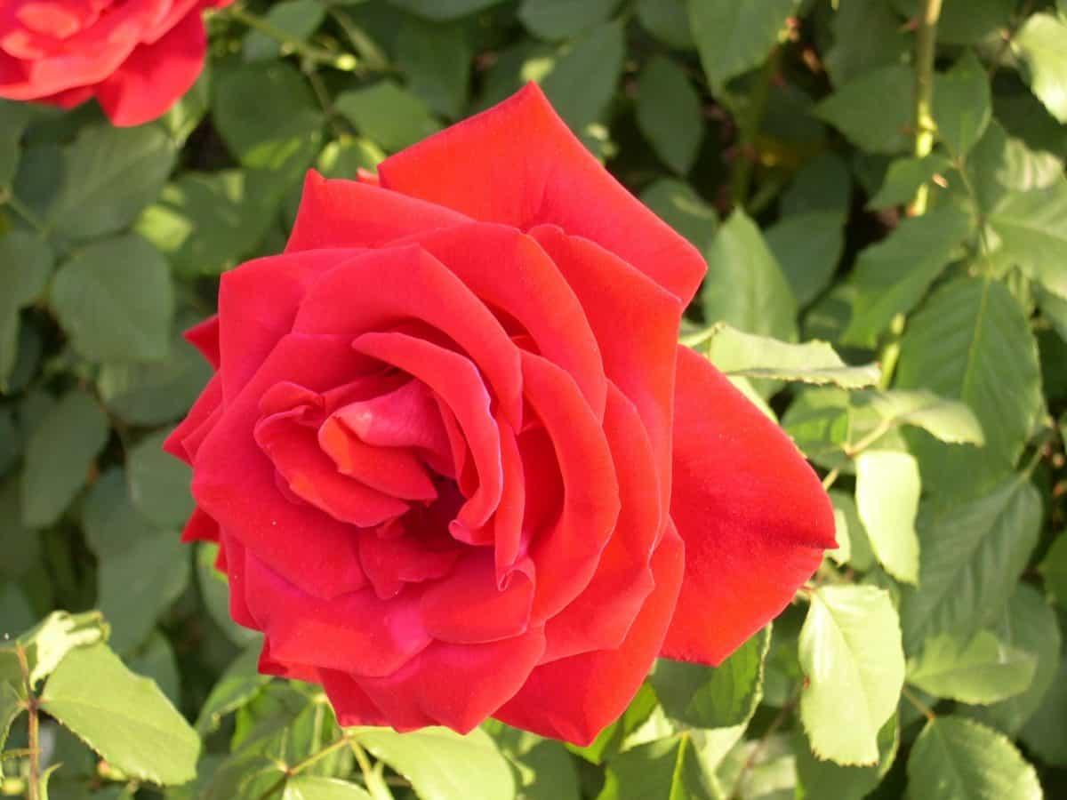 vrt, flore, ruža, list, ljeto, cvijet, prirodu, latica
