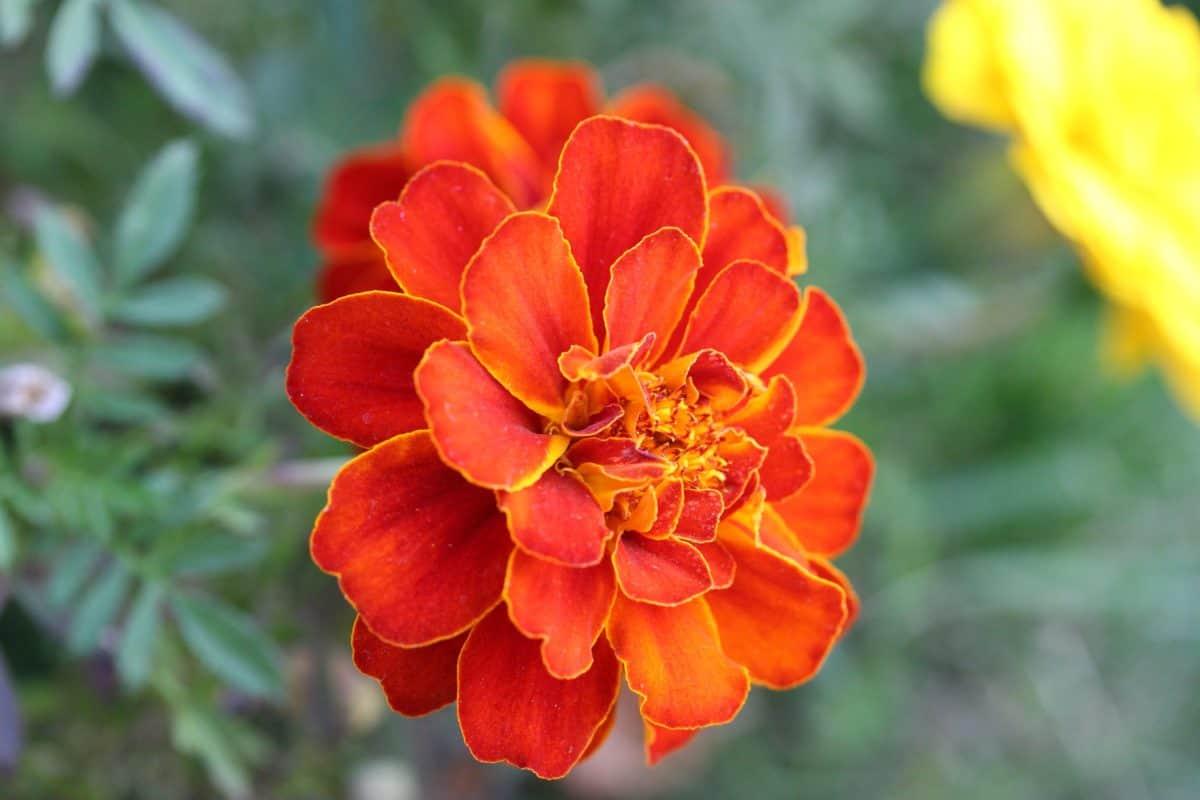 leaf, nature, red flower, flora, garden, petal, summer, herb