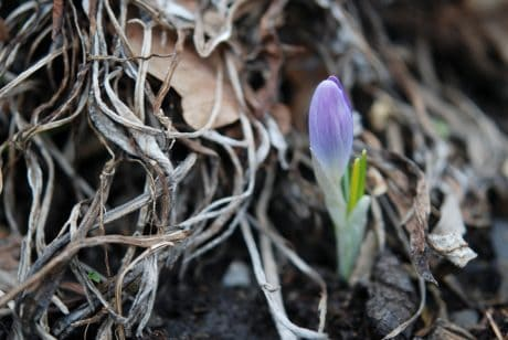 terra, foglia, natura, fiore, flora, piante, erba, crocus, ecologia, terreno