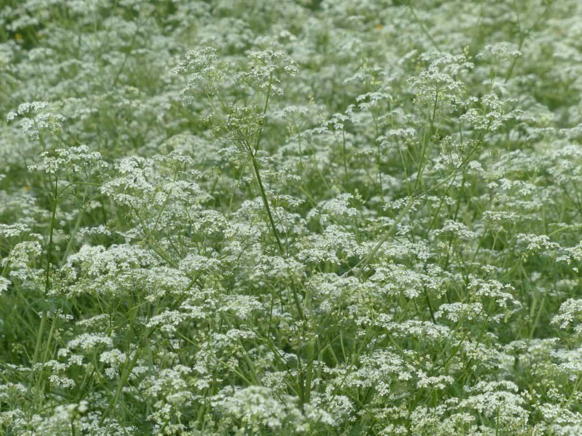 Flora, foglia, natura, Prato, all'aperto, ambiente, campo, wildflower