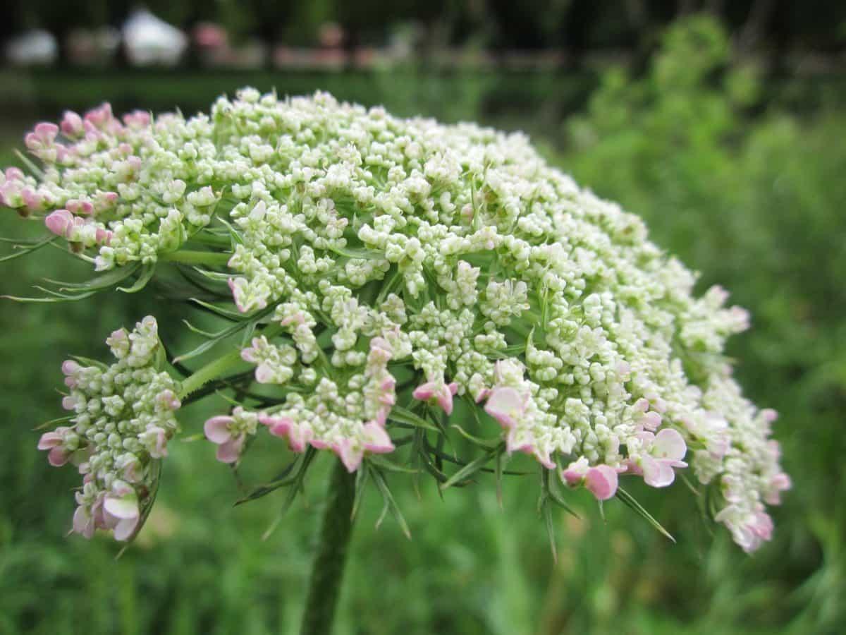 kvet leto, prírody, flóra, Záhrada, bylina, rastlina, kvety