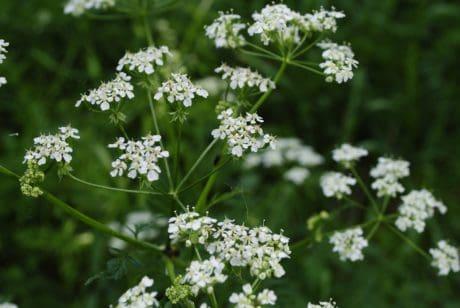 nature, leaf, flora, garden, flower, herb, plant, organism