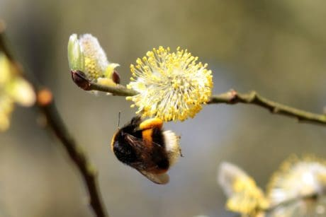 flower, insect, bumblebee, flora, nature, tree, branch, arthropod, willow