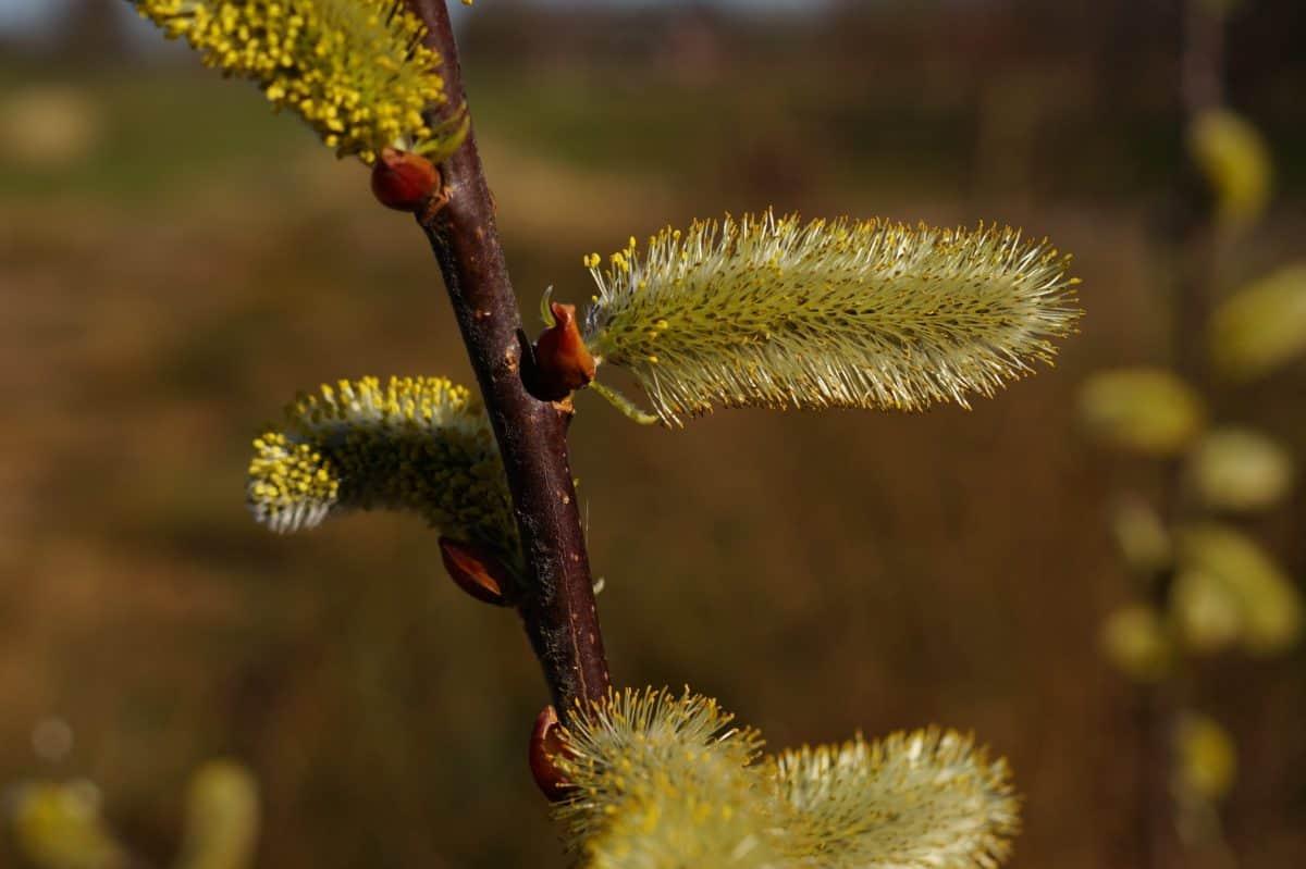 květina, strom, větev, příroda, Vrba, rostlina, flora