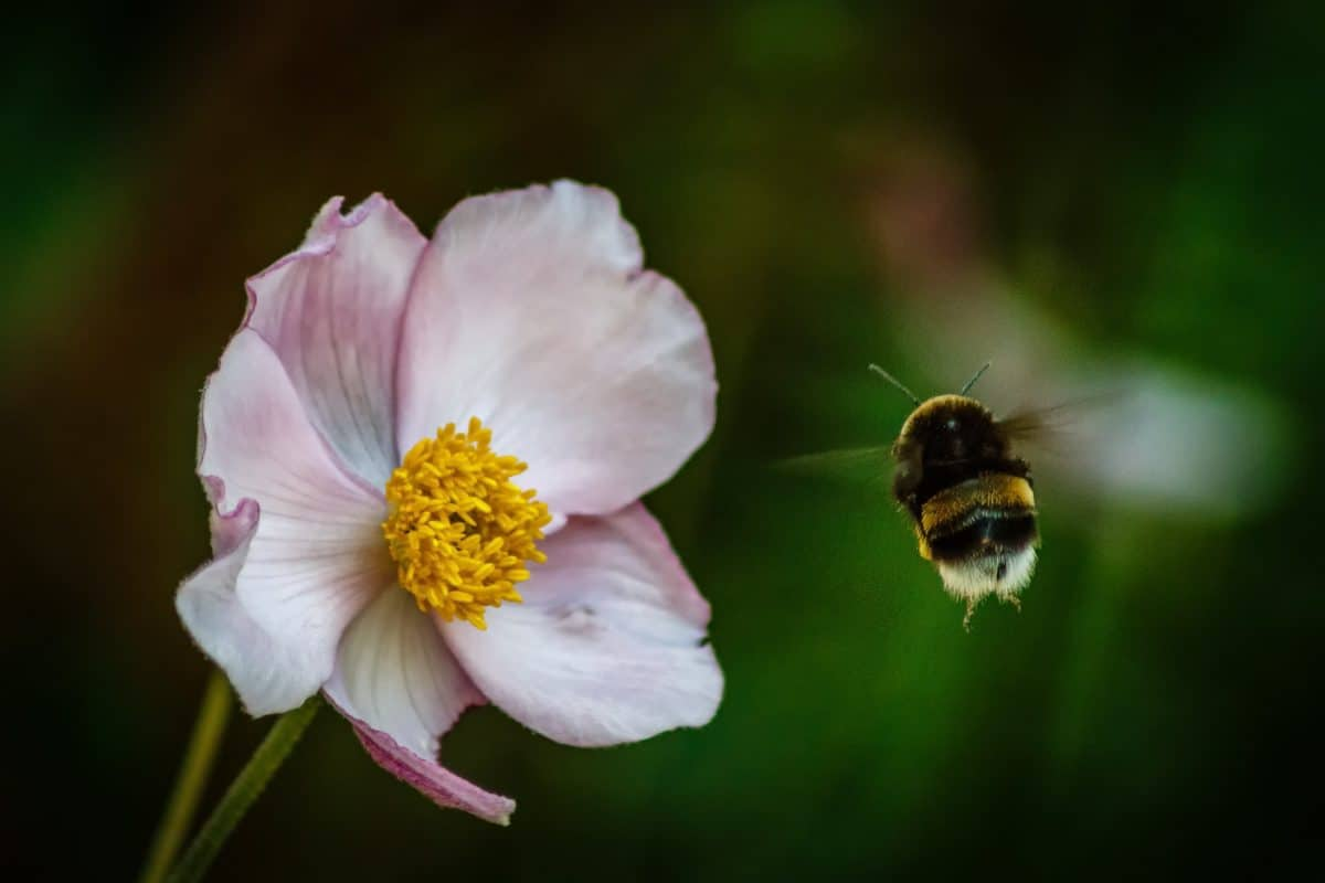 nature, flower, pollen, bumblebee, insect, arthropod, invertebrate, blossom