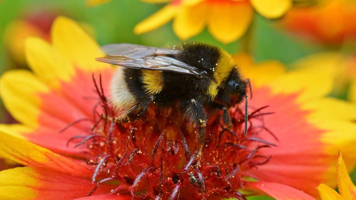 цвете, пчела, насекоми, цветен прашец, природа, лято, членестоноги безгръбначни
