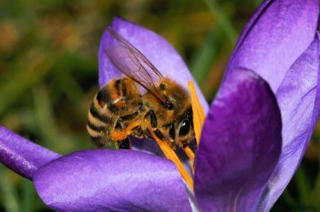 abeille, macro, pollen, fleur, insecte, nature, jardin, été, flore, herbe, plante