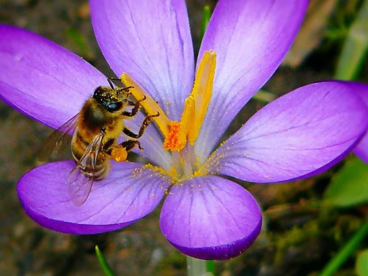Image libre l t abeille flore insectes pollen for Ahuyentar abejas jardin