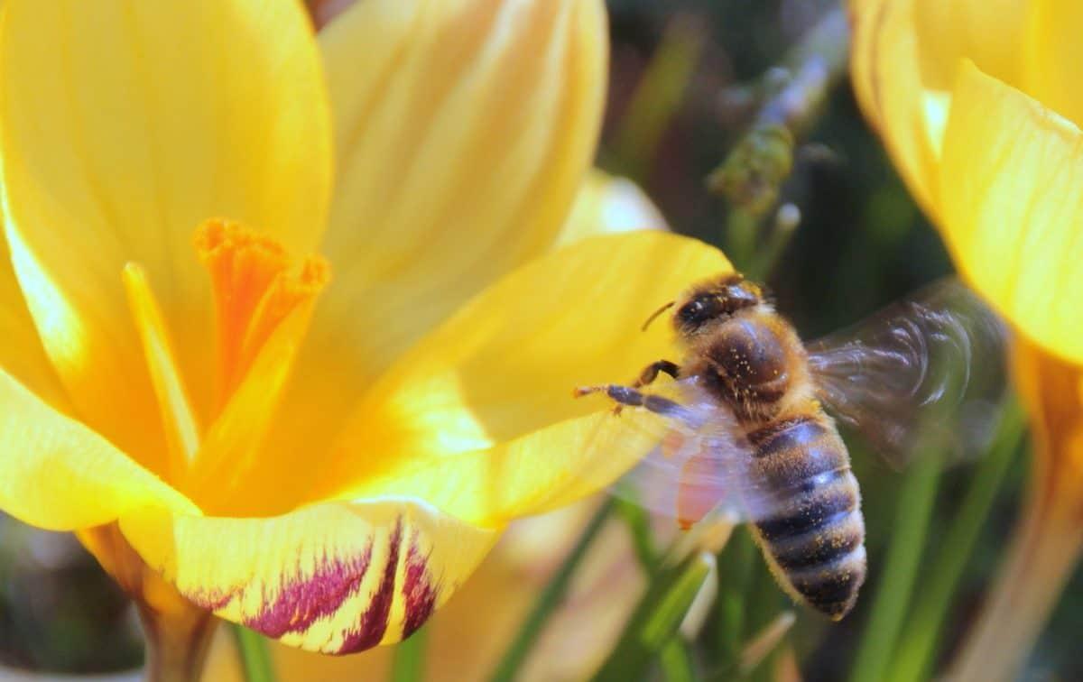 prirode, pelud, insekata, pčela, cvijet, arthropod, faune