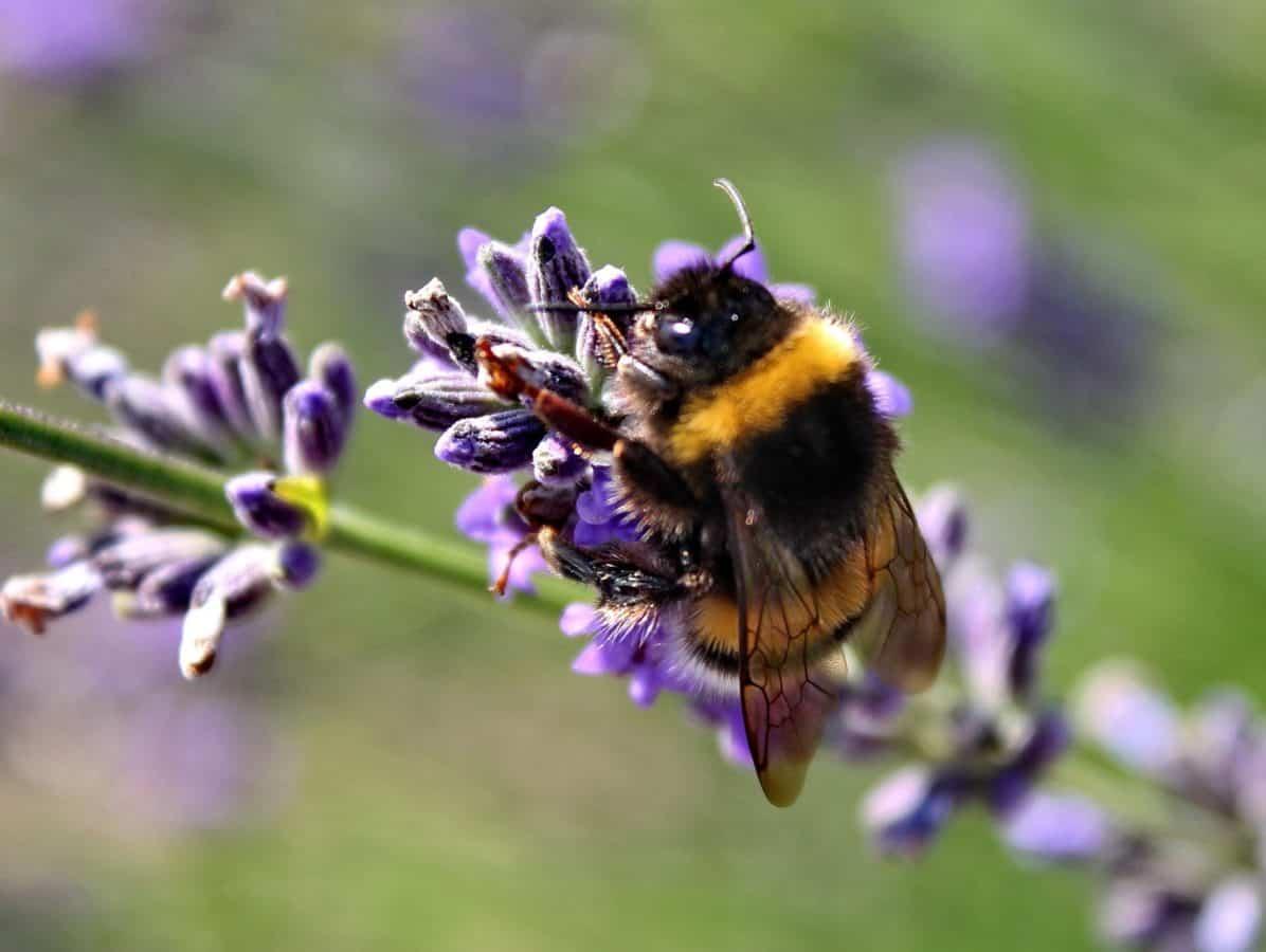 haven, naturen, blomst, flora, sommer, bumblebee, insekt, makro, detalje