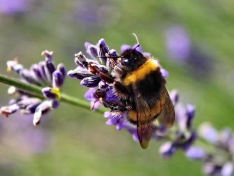 jardin, nature, fleur, flore, été, Bourdon, insecte, macro, détail