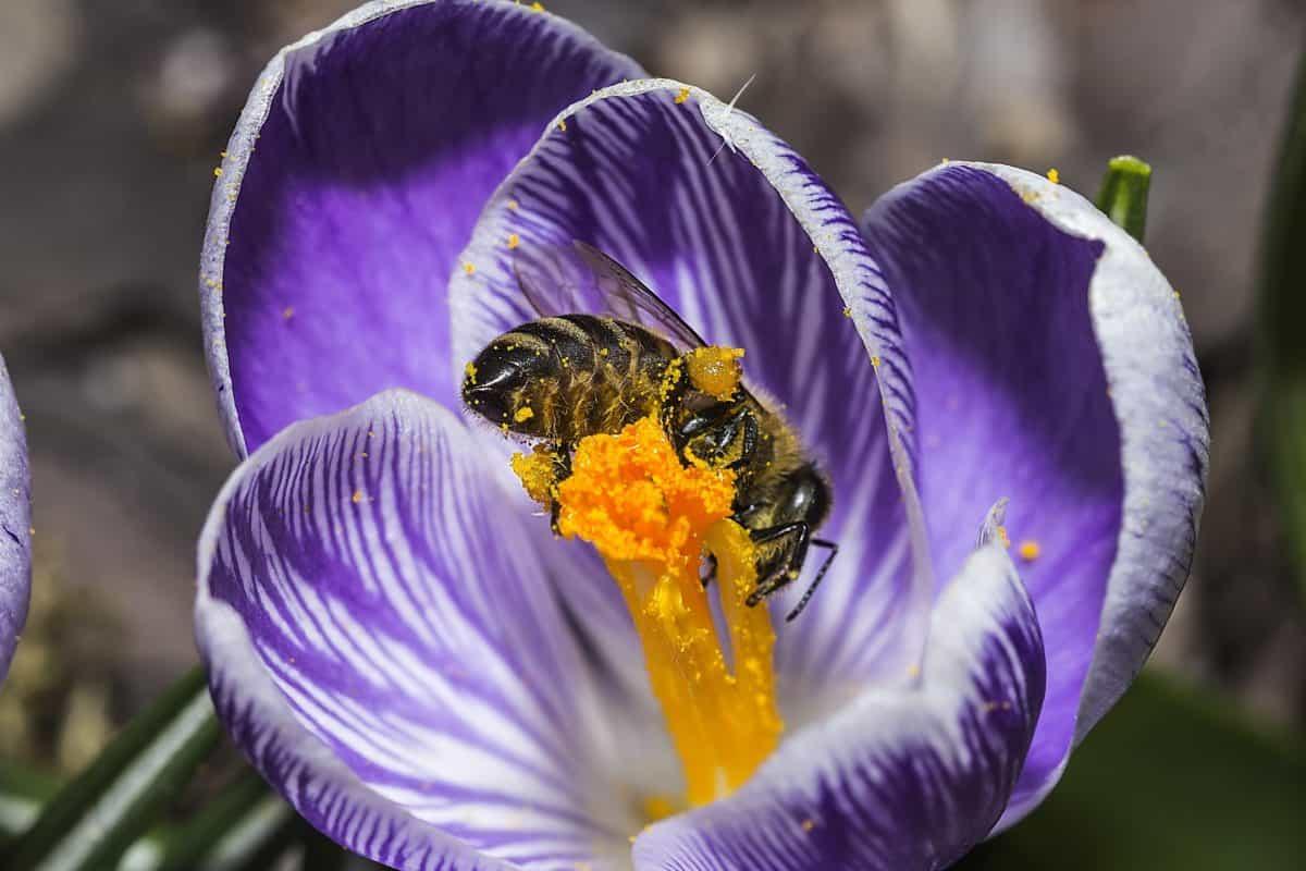 insect, bee, nectar, pollen, nature, flower, saffron, crocus, blossom
