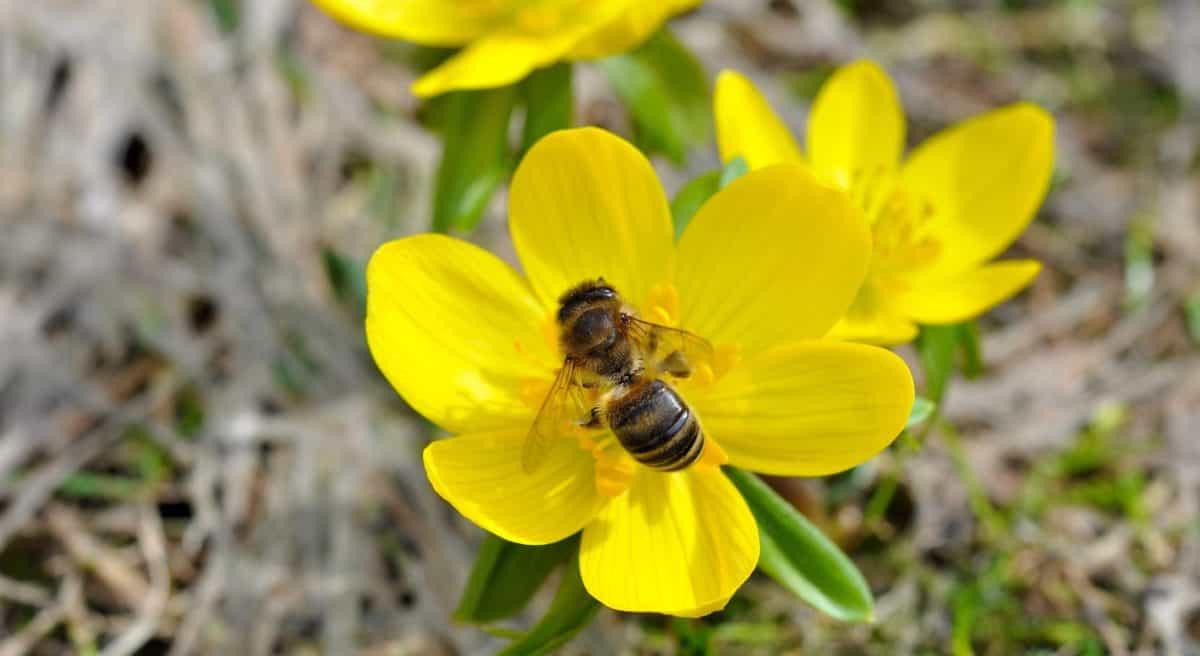 Mehiläinen Hyönteinen