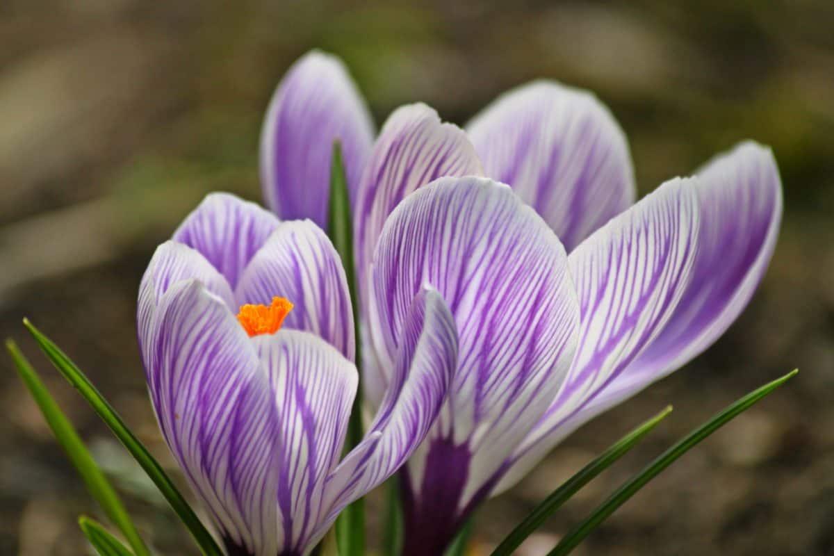 макрос, Пилок, нектар, шафран, літо, листя, природи, флори, Крокус, квітка