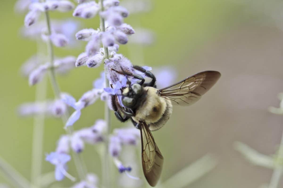 hmyz, včela, příroda, bylina, rostlina, členovci, zahrada, květ