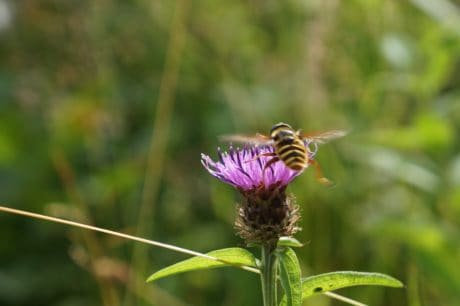 insect, leaf, nature, wild, bee, flora, summer, flower, herb, thistle, macro