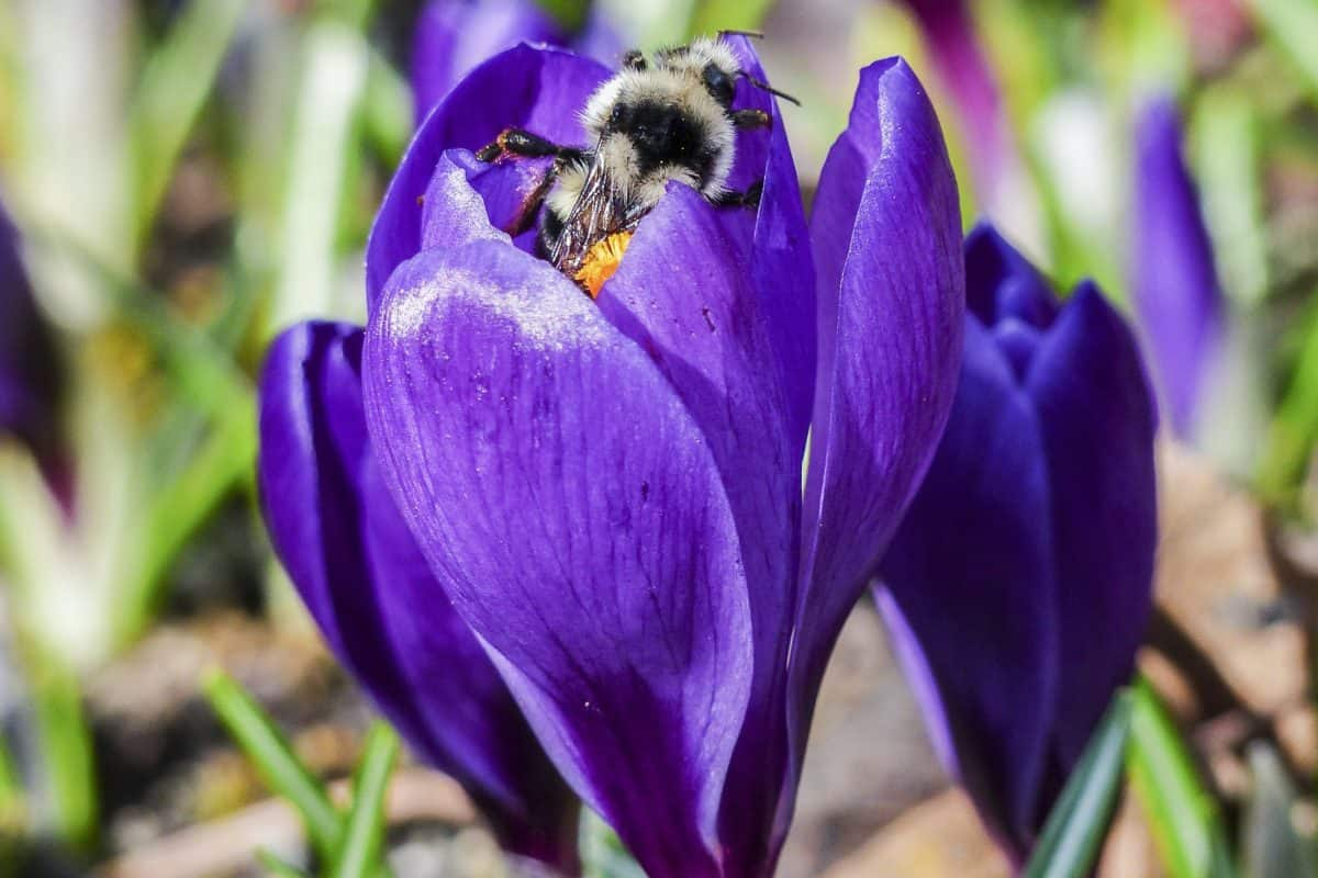 bumblebee, crocus, macro, summer, leaf, nature, garden, flower, wildflower