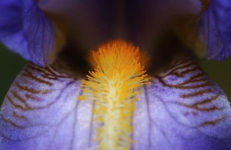 macro, pistillo, polline, nettare, natura, foglia, flora, fiore, iris, pianta