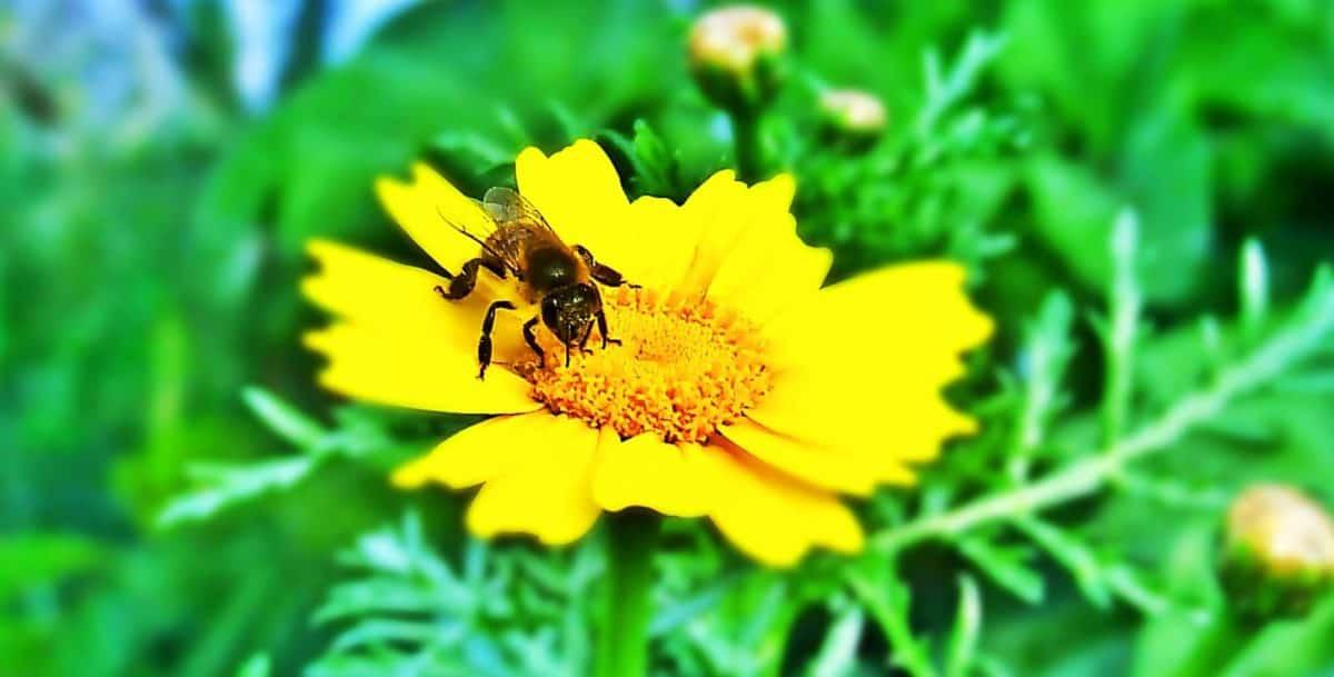 insekt, flora, bee, natur, sommer, pollen, blad, urt, blomst