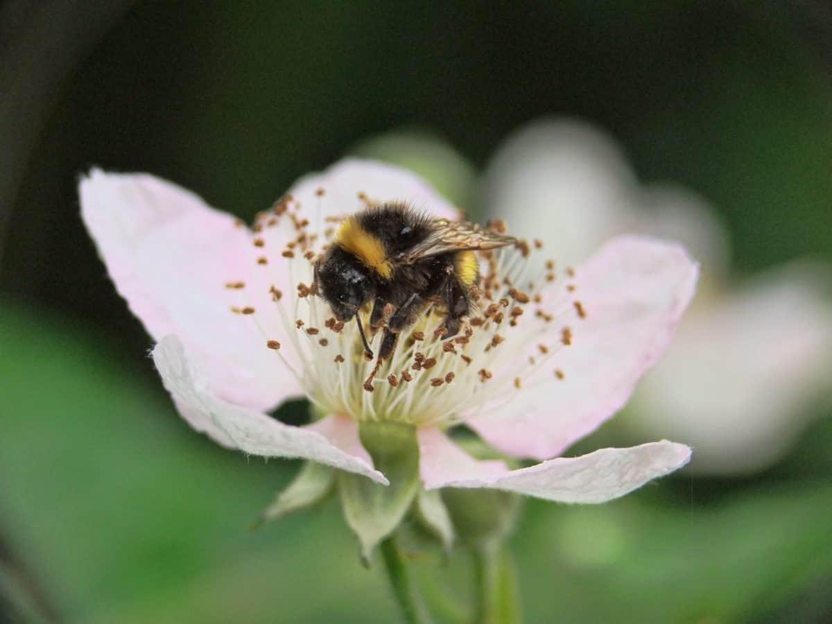 cvijet, bumbar, priroda, insekata, pelud, biljka, cvijet, biljka
